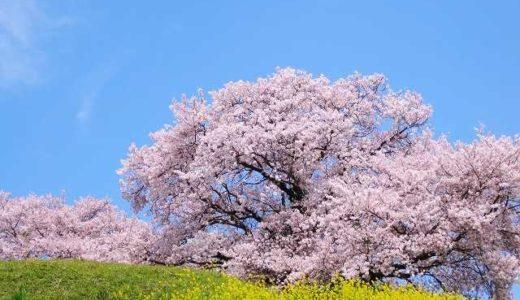 相模原市・厚木市・秦野市・綾瀬市の桜(花見)がおすすめの公園・施設5選